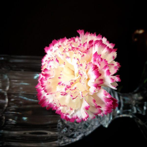 หัวดอกคาร์เนชั่น